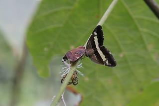 Liuzhou/柳州 - Planthoppers 3366