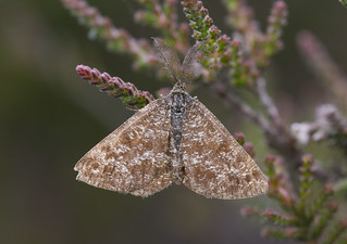 Male common heath moth