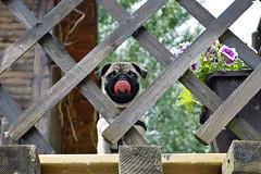 Pug (KrznoZrnce) Tags: dog puppy funny pug pugs mops carlino