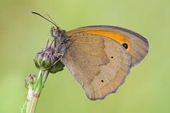 Maniola jurtina (Prajzner) Tags: morning macro butterfly nikon sigma stack lepidoptera meadowbrown manfrotto sigma105mmmacro maniolajurtina focusstacking subcarpathia macrodreams zerenestacker manfrottomt190xpro3