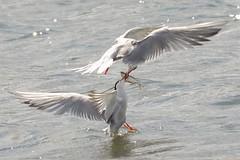 DSC_9816  Visdief : Sterne pierregarin : Sterna hirundo : Fluss-Seeschwalbe : Common Tern