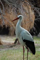 Storch (hwl.weber) Tags: zoo outdoor tier vogel storch adebar zugvogel wildtier
