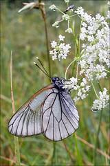 Aporia-crataegi_3 (amadej2008) Tags: white blackveinedwhite aporiacrataegi aporia belinke taxonomy:binomial=aporiacrataegi baumweisling belinka glogovabelinka