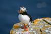 Macareux moine #4 [ Îles Shetland ] (emvri85) Tags: greatbritain scotland cliffs puffin falaises macareux noss écosse bressay grandebretagne shetlandislands noupofnoss macareuxmoine theshetlandislands armériesmaritimes