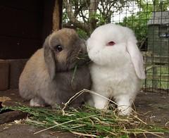 Bunny Sunday (rjmiller1807) Tags: cute rabbit bunnies june olympus rabbits bun oxfordshire rspca harwell 2015 rehoming