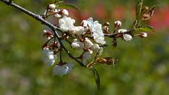 Prunus nigra 'Princess Kay' (Rosaceae) (Kaisaniemi Botanic Garden, Helsinki, 20150522) (RainoL) Tags: flowers plants white plant flower finland garden geotagged spring helsinki may clr helsingfors fin botanicalgarden kaisaniemi prunus rosaceae uusimaa 2015 nyland cultivar prunusnigra kajsaniemi kaisaniemibotanicgarden 201505 20150521 20150522 geo:lat=6017573898 geo:lon=2494549870