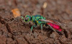 Ruby-tailed Wasp (steb1) Tags: macro insect wasp canonmpe65mm hymenoptera 2015 cuckoowasp whixallmoss rubytailedwasp concavediffuser yongnuoyn14ex