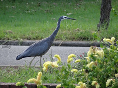 A heron near my home (pat.bluey) Tags: outside australia newsouthwales 1001nights myhome frontgarden coth 1001nightsmagiccity