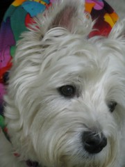 "8/12A ~ ""Riley's Angel Face"" (ellenc995) Tags: face closeup riley westie westhighlandwhiteterrier coth supershot fantasticnature pet500 pet100 pet1000 pet2000 pet1500 thesuperbmasterpiece rubyphotographer alittlebeauty coth5 naturallywonderful thesunshinegroup 12monthsfordogs15"