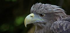 White-tailed eagle - Seeadler (pe_ha45) Tags: haliaeetusalbicilla seeadler whitetailedeagle aiglebarbu pyargueàqueueblanche grandaigledemer aquiladimarecodabianca águiarabalva rabalva pigargoeuropeo