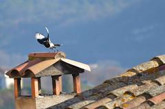 Flying now (dfromonteil) Tags: bird oiseau pie envol flight rooftop toit liberté freedom free libre animal nature winter hiver light lumière bokeh