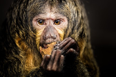 Monkey Business (Fifescoob) Tags: zoo edinburghzoo edinburgh monkey wildlife eatingportrait animal captive captivity canon eos 5ds