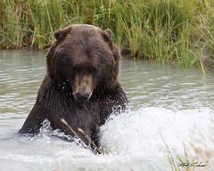 Got 'im! (Alfred J. Lockwood Photography) Tags: alfredjlockwood nature wildlife mammal bear grizzly brownbear water alaskawildlifeconservationcenter morning overcast portage alaska summer pond