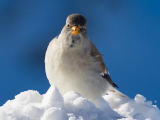White-winged snowfinch / Schneesperling (Montifringilla nivalis)