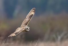 Short eared Owl in flight (Peter Bangayan) Tags: shortearedowl birds raptors owls wild wildlife wildlifephotography nature stanwoodwa washington birdsofprey