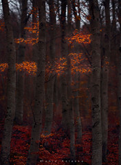 Dream in the Forest... (ktania) Tags: fog forest automn winter mountain mountains landscape landscapephotography landscapes nature naturesfinest national nationalgeographic natgeo leaves leaf red gold trees tree instagram outdoor camera camerapixo canon canoneos6d canonef1740mmf40lusm sell buy photography photo photographyart photographer art artphotography taniakoleska taniaphotos