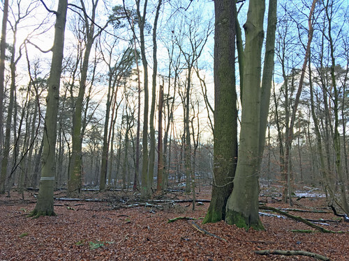 Buche-Eiche Liebespaar im Reliktwald Lampertheim Ost , NGID170936