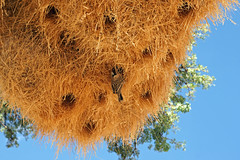 DSC02278 - NAMIBIA 2010  Weervögel (HerryB) Tags: namibia afrika südafrika südwest afrique africa 2010 sony tamron alpha bechen heribert fotos photos flickr minolta konica dynax photography herryb heribertbechen reise safari rundreise aus garup wildhorses eaglesnest lodge off nowhere einsamkeit weber weaver socialweavers nest nid vögel vogel bird oiseaux