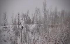 chevreuils (bulbocode909) Tags: valais suisse fully chevreuils arbres hiver neige nature