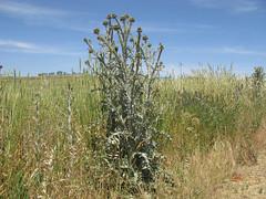 Onopordum illyricum plant6 CWS (Macleay Grass Man) Tags: asteraceae onopordum illyricum taxonomy:binomial=onopordumillyricum illyrian thistle