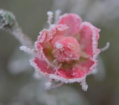 Roze (Ilona67) Tags: rijp winter kou buiten roze roos