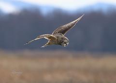 Precision (slsjourneys) Tags: owl shortearedowl raptors