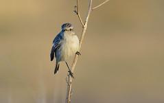 Stonechat (Saxicola torquata) (Bob Eade) Tags: birds dungeness stejnegersstonechat saxicolastejnegeri kent wildlife winter
