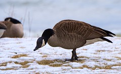 Close Up (imageClear) Tags: goose canadagoose feeding snow winter february closeup wildlife lakeshore d500 80400mm aperture nikon imageclear flickr photostream