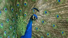 portrait of the king (JoannaRB2009) Tags: peacock bird portrait nature animal colours spring