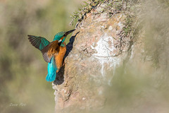 Kingfisher (dave_poth) Tags:
