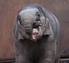 asiatic elephant Sanuk artis JN6A0586 (j.a.kok) Tags: olifant elephant elephasmaximus aziatischeolifant asiaticelephant sanuk herbifor azie asia mammal zoogdier