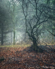 Twisted Tree (.Brian Kerr Photography.) Tags: edenvalley cumbria tree armathwaite lazonby mistymorning mizzle rain drizzle mist winter cold weather sonyuk a7rii availablelight trees briankerrphotography briankerrphoto wwwbriankerrphotographycom