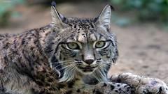 Lynx (asithmohan29) Tags: httpbitly2kedewm httpdailyx59xreq lynx animals animalsl beigewhite blackbars bobcat bowtie canadalynx cats darkbrownspots desertlynx eurasianlynx goldish iberianlynx junglecat junglelynx leuk longwhiskers lynxcanadensis lynxgenus lynxissiodorensis lynxlynx lynxpardinus lynxrufus mammalgenera mediumbrown mediumsizedwildcat paddedpaws shorttail tuftsofblackhair wildcat