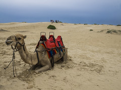 Tired Camel (Tonitherese) Tags: camel