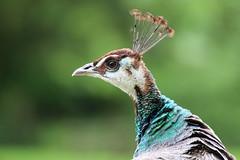 Peacock (Pavo cristatus) (Klaus R. aus O.) Tags: green bird eye female spring beak feathers peacock grn auge vogel schnabel pfau weibchen federn gefieder