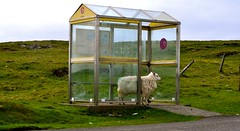 great this must be a queue (plot19) Tags: greatbritain west bus green field grass landscape island photography islands nikon sheep northwest great north stop western land outer northern isle isles hebrides berneray plot19