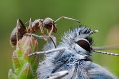 Eye to Eye (GOLDENORFE) Tags: macro insect ant mpe65 silverstuddedblue preesheath