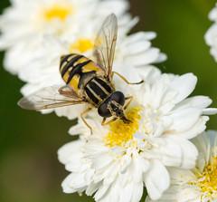 Hoverfly - Helophilus pendulus (Graham Dash) Tags: flowers macro hoverfly feverfew hoverflies tanacetumparthenium helophiluspendulus tamron90mm28macro 2015pad