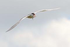 DSC_9805 Visdief : Sterne pierregarin : Sterna hirundo : Fluss-Seeschwalbe : Common Tern