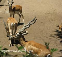 Gacela de Thomson 01 (grivas2k) Tags: animal mammal gazelle gacela mamifero thomsons gaceladethomson