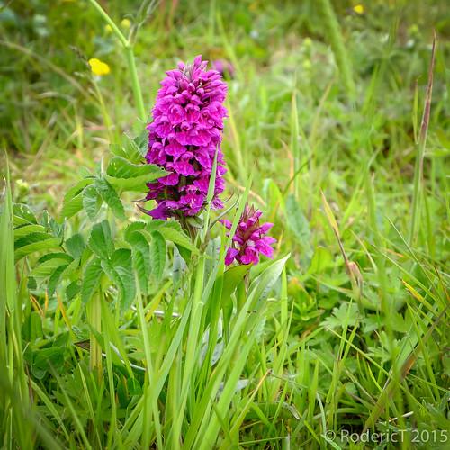 20150623-DSCF6296 Purple Marsh Orchid Brodgar Orkney.jpg