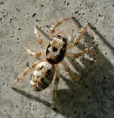 Zebra Spider (John_E1) Tags: macro closeup spider arachnid zebra salticus scenicus