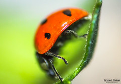 Ladybird side (© Ahmed rabie) Tags: sky color macro canon side ladybird tamron