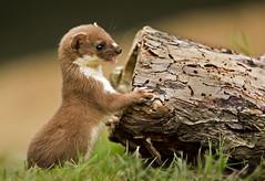 Weasel_0487 (Peter Warne-Epping Forest) Tags: uk mammal european weasel mustelid mustelanivalis leastweasel