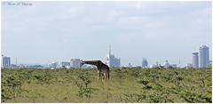 Giant in the City! (MAC's Wild Pixels) Tags: kenya nairobi giraffe acacia thorntree nairobinationalpark busyfeeding giantinthecity macswildpixels