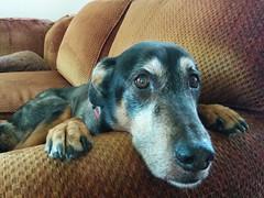 Ramius (jessicacharvat) Tags: old dog cute senior sad pathetic