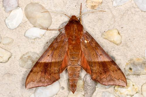 Darapsa choerilus - Azalea Sphinx - Hodges#7886