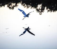 040A0030 (ChefeGrande) Tags: reflection bird heron water silhouette landscape flying texas cypress serene whiteheron cypresscreek harriscounty 5dsr floodcontrolpond