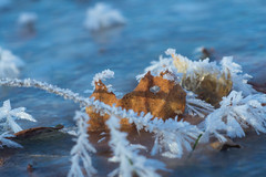 _DSC7349 (Simply Angle) Tags: sony sonyphotography sonyphotographing washington nature winter 2016 snow ice frost canonfd100mmf4macro macro reflection reflect ilce7m2 a7ii fullframe leaves leafs frozen sunlight