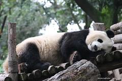 Having a snooze - Chengdu Giant Panda Research Breeding Centre - Chengdu Sichuan China (WanderingPhotosPJB) Tags: china sichuan chengdu giantpanda researchbreedingcentre sleeping snooze